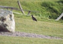 Curlew on Balnafettach Farm