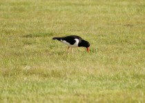 Oyster catcher on Balnafettach Farm
